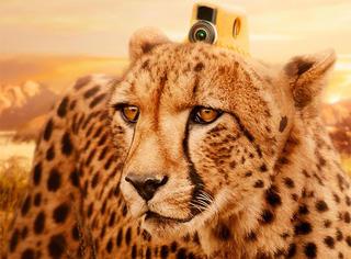 看猩猩自拍,企鹅捕食,狐獴刨洞,吴秀波竟然骗我吸猎豹!
