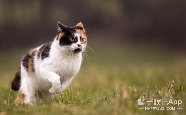 猫咪性格可以从花色判断?专家说最二的是奶牛猫!