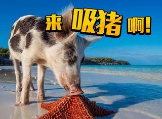 """从""""后备食物""""变身加勒比海岛主,这群猪的生活让人都羡慕!"""