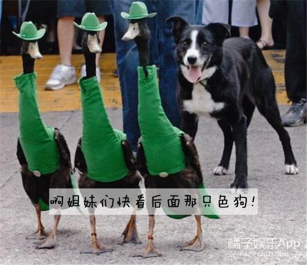 妈诶!给鸭子穿上高级定制真的能比天鹅还美吗?