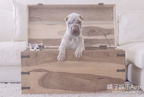 这只世界上最上镜的沙皮狗,它最好的朋友是一只猫