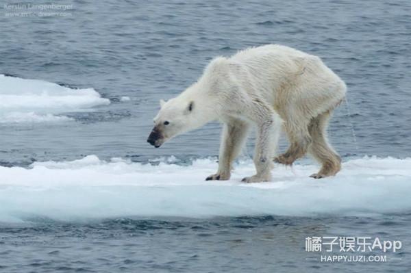 惊!北极熊竟然瘦成这个样子?全球变暖正危机它们的生命...