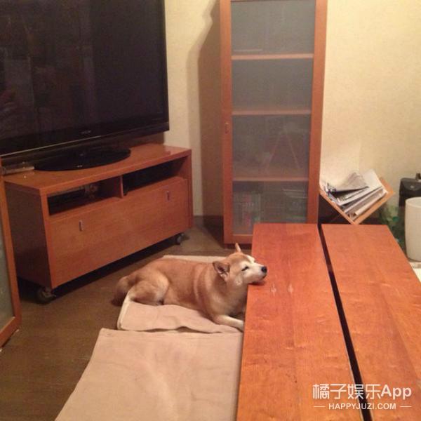 萌哭!柴犬以为要喂它吃东西超开心,发现被骗后做出绝望表情