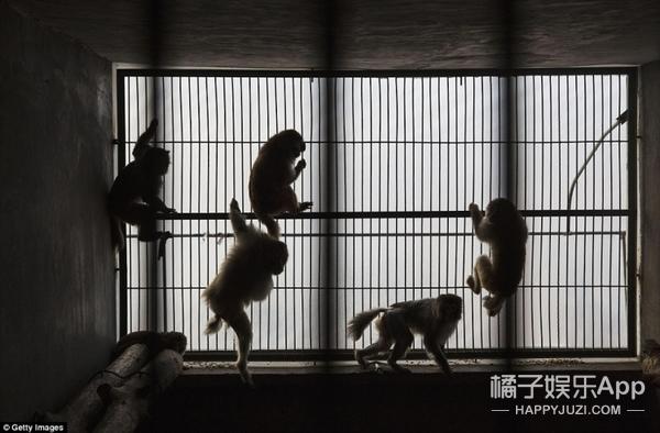 为了开心过猴年,我们可能从没考虑过猴儿的感受