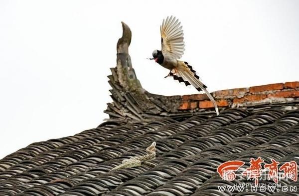 农家屋顶上演蛇鸟大战,连打架都打得这么美!