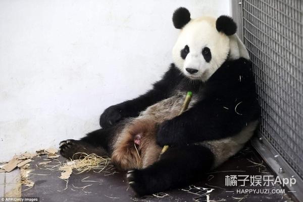 第一只留洋熊猫诞生,刚出生就被妈妈玩坏了