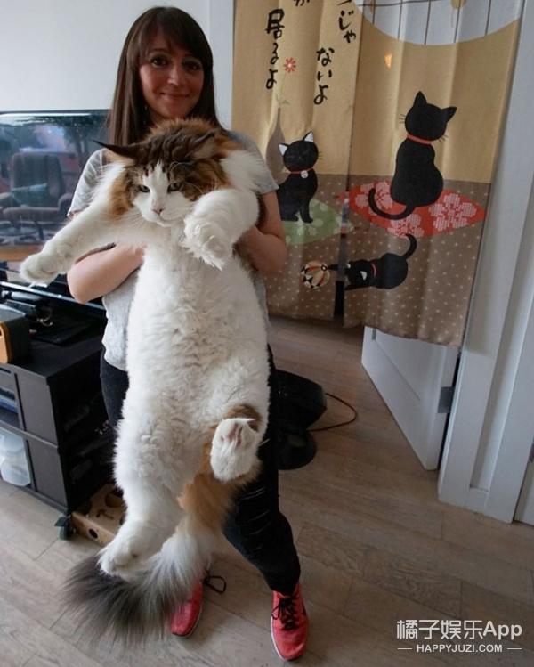 【萌宠】这只猫的体格有点吓人,分分钟扑到你!