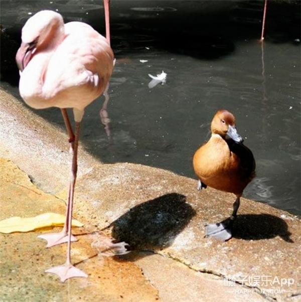 笑出泪,当鸭子们误入鹤群,也太懂入乡随俗了吧