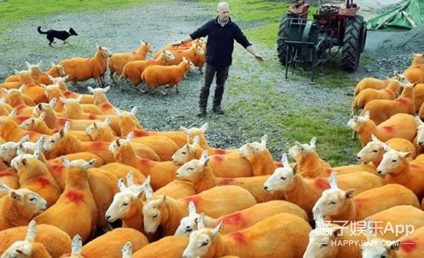 偷羊贼逼疯牧羊人,一气之下800只羊全染成橘色