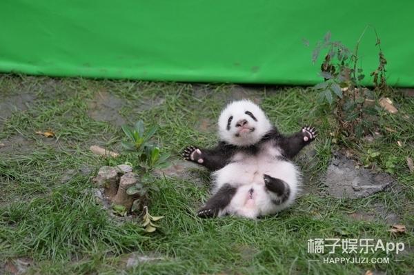 熊猫宝宝因为摔了一个跟头成功抢镜!
