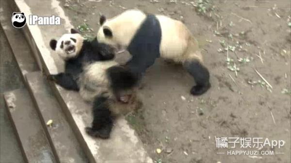 大熊猫为什么这么少?原来是因为性冷淡