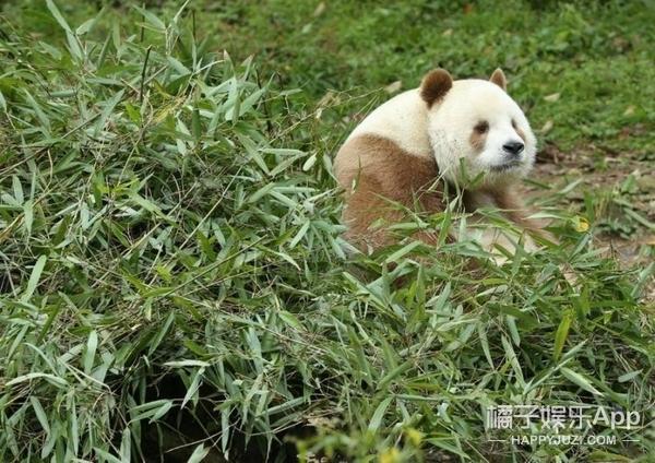 目前还是谜之存在,全球唯一一只巧克力色熊猫
