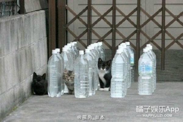 日本新出钉子防猫神器,但却遭到喵星人的王之蔑视