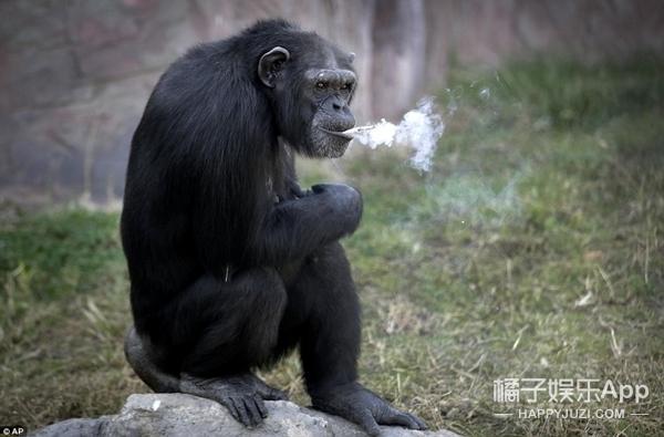 一天20根烟,朝鲜动物园一只有故事的大猩猩