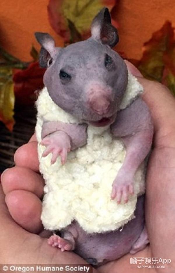 无毛小仓鼠被人残忍丢弃,护工给它做了这个东西后它的生命完全不同了!