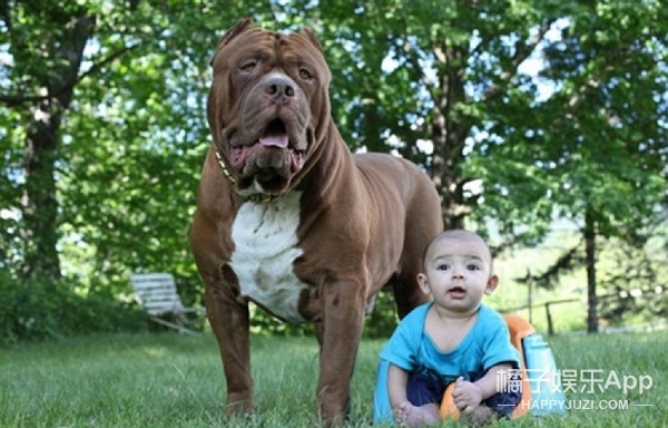 勇敢妈妈让全球最大斗牛犬照顾3月大婴儿