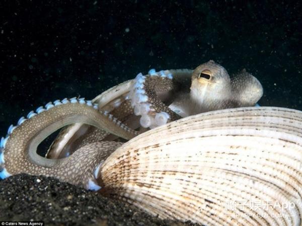 在海里生活也不容易,章鱼都不得不蜗居了