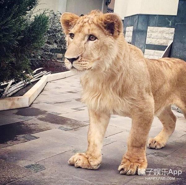 摔跤手找不到训练对象,于是养了只狮子当对手