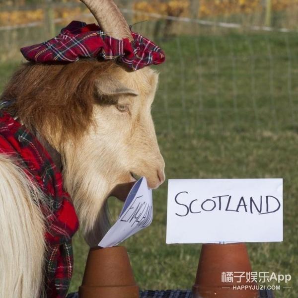 成功预测世界杯、英国脱欧,现在这只算命羊说希拉里会当总统!