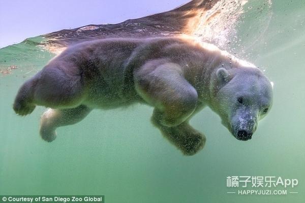 他爱上了北极熊,并愿意一直守护它