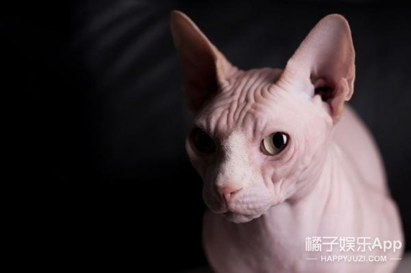 700美元买回家的无毛猫,竟然长出毛了