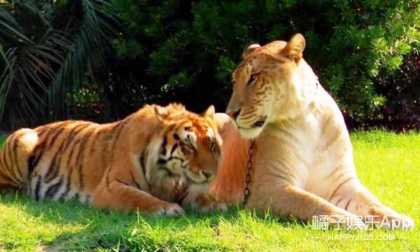 狮子和老虎交配出的后代,这一看就是亲生的!