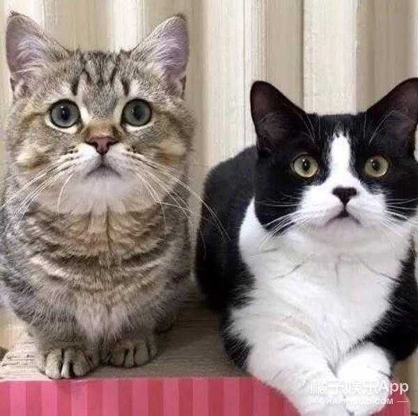 【萌宠】当两只短腿喵成为了好闺蜜