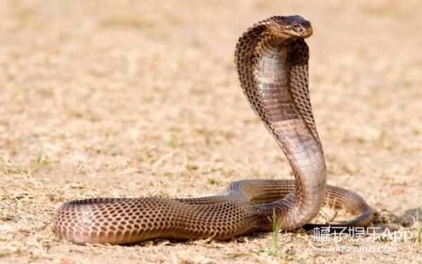 百年难得一见!实拍眼睛王蛇、巨蟒和森蚺之间的疯狂动物大战