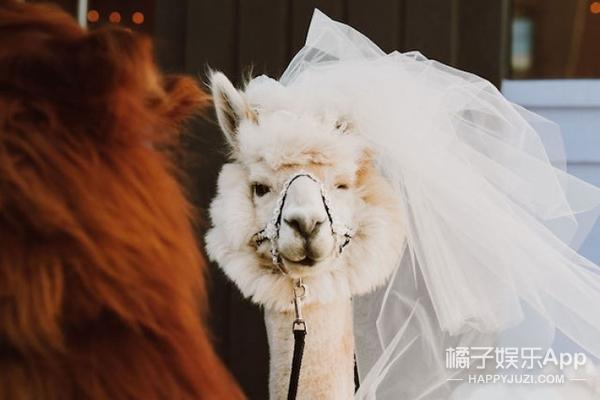 婚礼邀请神兽草泥马参加,这画风可以的