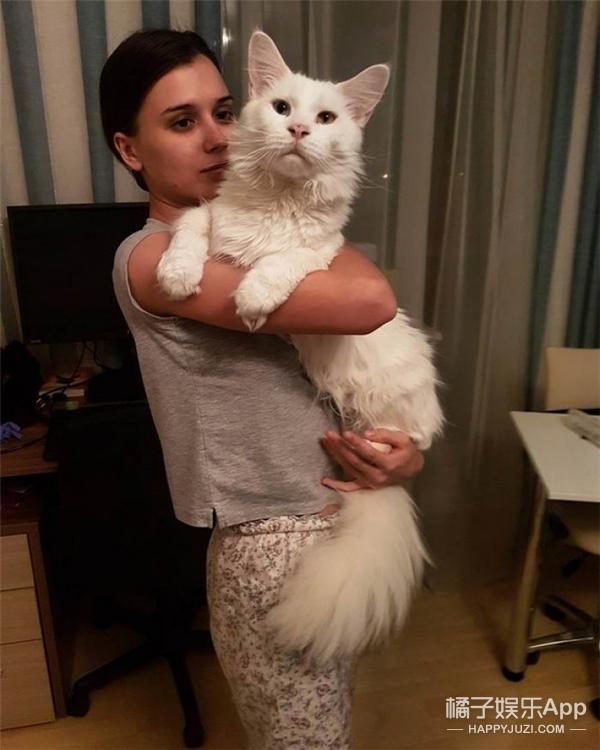 超大只的缅因猫,最喜欢被人抱抱