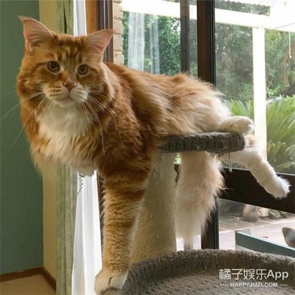 可能是世界上最长的一只猫,比牧羊犬还大只