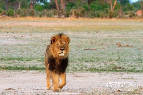 2年前明星狮子王死在猎人枪下,现在它的儿子也刚被杀了