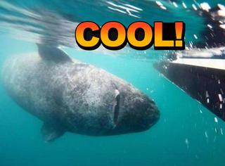 真锦鲤!科学家在大西洋里发现了一只512岁的鲨鱼