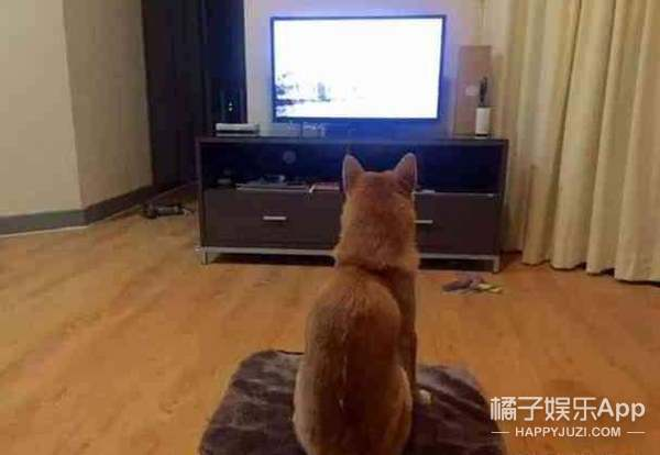 这只爱看电视的柴犬最近忙着带娃,剧都不追了