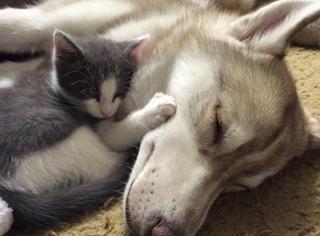 谁说猫狗天生不和?这只哈士奇跟小流浪猫好得跟亲娘俩似的