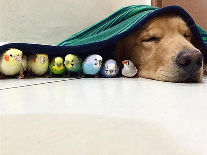 萌宠 | we are 伐木累!看金毛与8只鹦鹉1只仓鼠的幸福生活