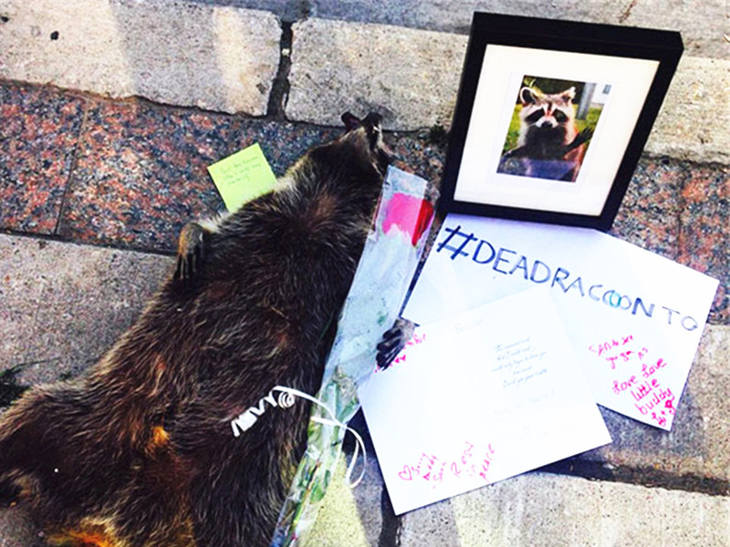 浣熊猝死街头,当地居民自发为它举办盛大街头葬礼