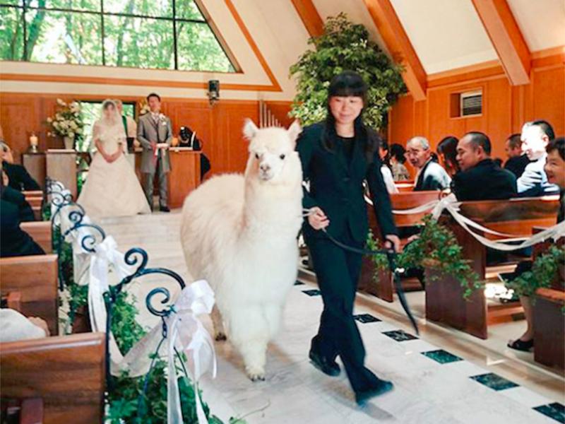 草泥马都来参加婚礼了!日本婚礼神兽当证婚人
