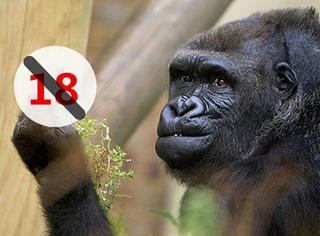 瞧这暴脾气,大猩猩向拍照游客比中指