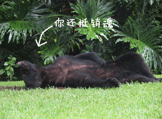 黑熊嘴馋偷吃20磅狗粮,走不了直线还晕菜了
