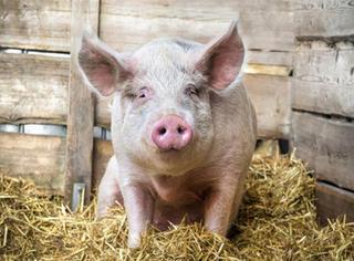 外国女子2500美元买了只迷你猪,结果长成了大肥猪