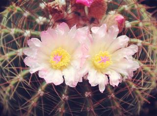耗时325小时,记录仙人掌开花全过程,超惊艳!