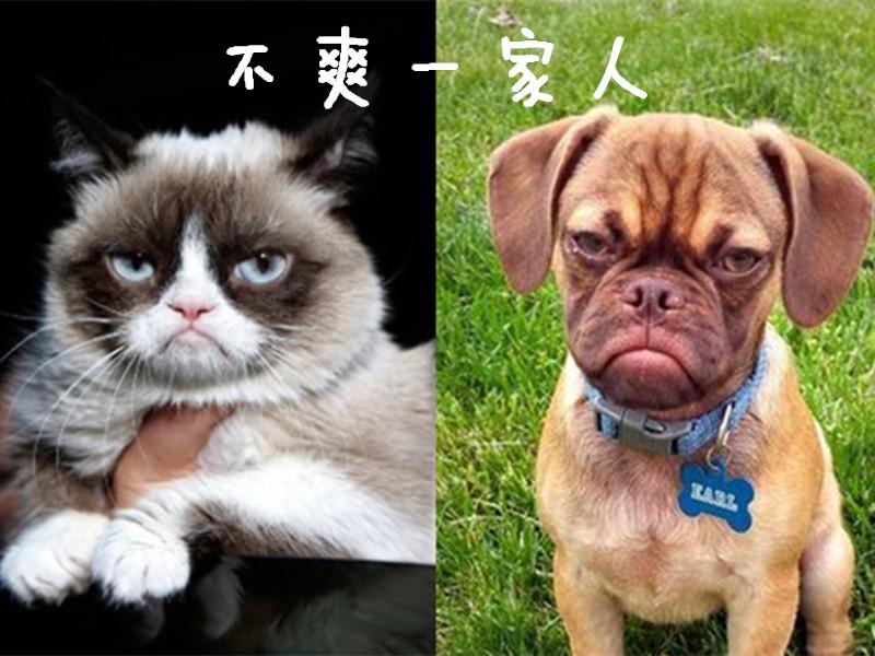 """比""""不爽猫""""还怨念的""""不爽狗""""粗现了!"""