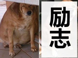 励志!继最肥大猫减肥成功后,超胖狗也甩肉逆袭!