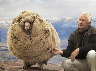 倔强的绵羊!6年没剪毛成大毛球