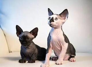 美国猫舍繁育出新种无毛猫