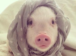 神奇!这只又萌又蠢的猪,竟然治愈了女主人的癫痫病