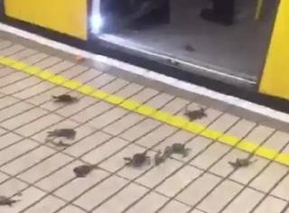 这是个耸人听闻的事情,英国一车站被大闸蟹入侵了!