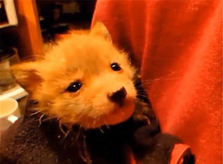 狐狸宝宝:人类给了我第二次生命