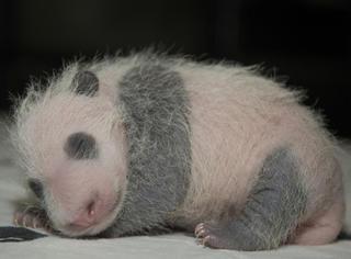 这只熊猫宝宝太幸福:彭麻麻和米歇尔一起给她取名字!